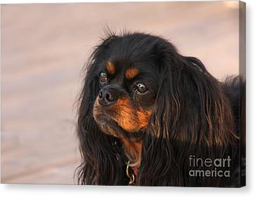 Thoughtful Cavalier Canvas Print by Kay Pickens