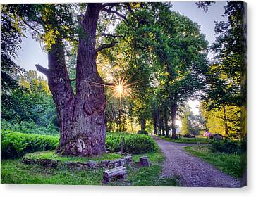 Thousand Year Old Oak In The Morning Sun Canvas Print by EXparte SE