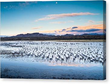 Snow Geese And Sandhill Cranes Before The Sunrise Flight - Bosque Del Apache, New Mexico Canvas Print by Ellie Teramoto