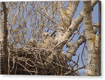 Three Baby Owls  Canvas Print by Jeff Swan