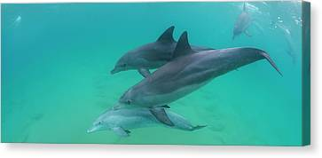 Three Bottle-nosed Dolphins Tursiops Canvas Print by Panoramic Images