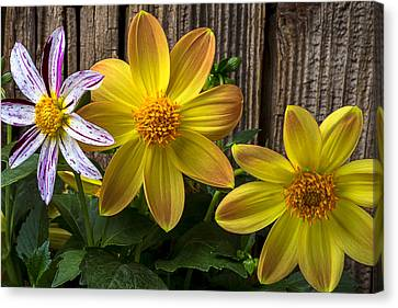 Three Dahlias Canvas Print by Garry Gay