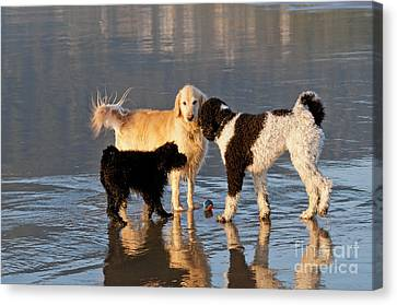 Three Dogs On A Beach Canvas Print by William H. Mullins