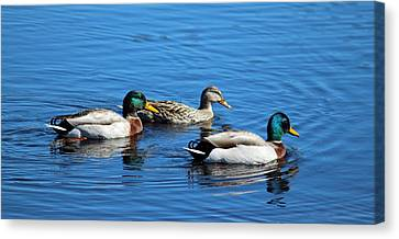 Three Ducks Canvas Print by Cynthia Guinn