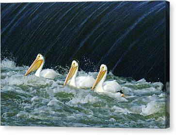 Three Pelicans Hanging Out  Canvas Print by Jeff Swan