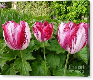 Three Pink Rembrandt Tulips Canvas Print by Lingfai Leung