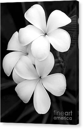 Three Plumeria Flowers In Black And White Canvas Print by Sabrina L Ryan