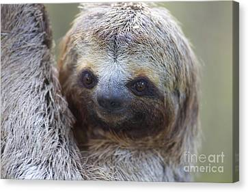 Three-toed Sloth Canvas Print by BG Thomson