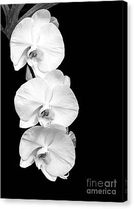Three White Moth Orchids Canvas Print by Sabrina L Ryan