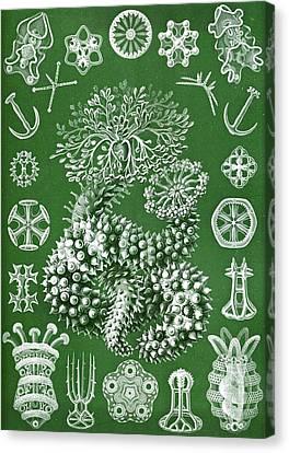Thuroidea From Kunstformen Der Natur Canvas Print by Ernst Haeckel