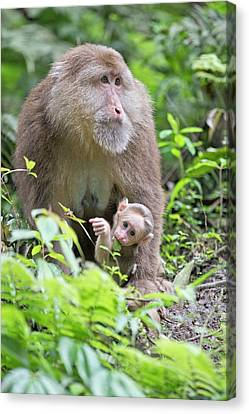 Tibetan Macaque Mother With Infant Canvas Print by Tony Camacho