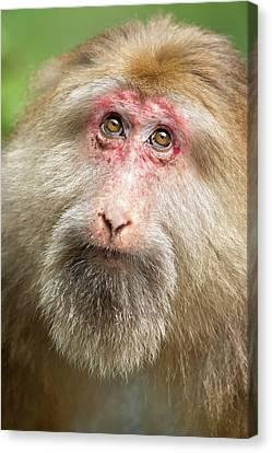 Tibetan Macaque Portrait Canvas Print by Tony Camacho
