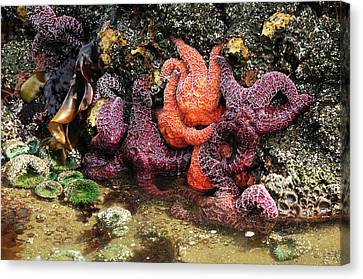 Tide Pool, Starfish And Sea Anemone Canvas Print by Michel Hersen