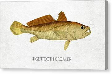Tigertooth Croaker Canvas Print by Aged Pixel