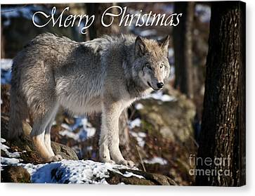 Timber Wolf Christmas Card 1 Canvas Print by Michael Cummings