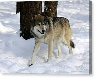 Timber Wolf In A Winter Snow Storm Canvas Print by Inspired Nature Photography Fine Art Photography