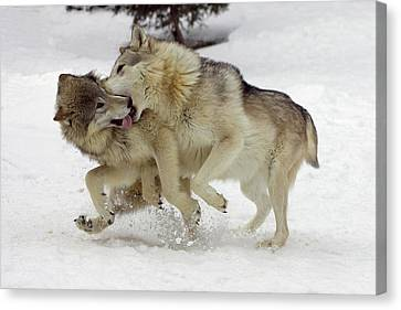 Timber Wolf  Pair Montana Canvas Print by Matthias Breiter