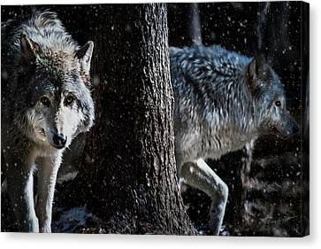 Timber Wolves In The Snow Canvas Print by Tracy Munson