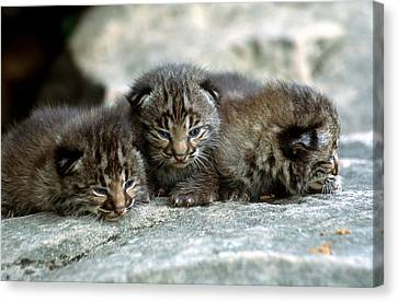 Tiny Bobcat Kittens Canvas Print by Larry Allan