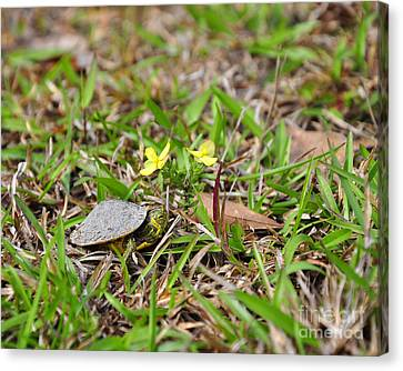 Tiny Turtle Canvas Print by Al Powell Photography USA