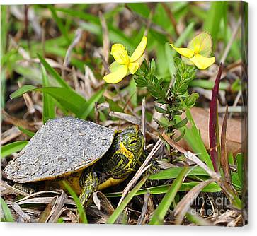Tiny Turtle Close Up Canvas Print by Al Powell Photography USA