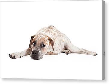 Tired Pointer Crossbreed Laying Canvas Print by Susan  Schmitz