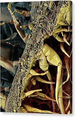 Tobacco Leaf Canvas Print by Stefan Diller