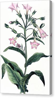Tobacco Nicotiana Tabacum Canvas Print by Anonymous