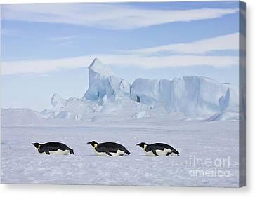 Tobogganing Emperor Penguins Canvas Print by Jean-Louis Klein and Marie-Luce Hubert