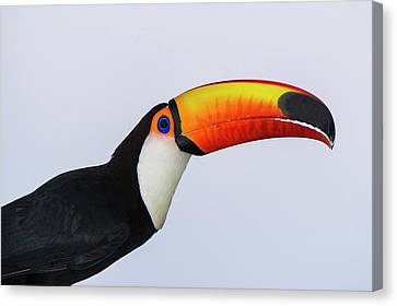 Toco Toucan (ramphastos Toco Canvas Print by Pete Oxford
