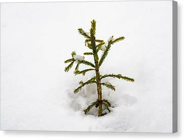 Top Of A Green Conifer Tree With Lots Of Snow In Winter Canvas Print by Matthias Hauser