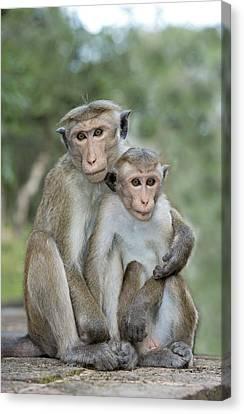 Toque Macaque Embrace Canvas Print by Tony Camacho