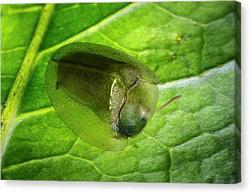 Tortoise Beetle On A Leaf Canvas Print by Philippe Psaila