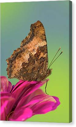 Tortoise-shell Butterfly, Nymphalis Canvas Print by Darrell Gulin