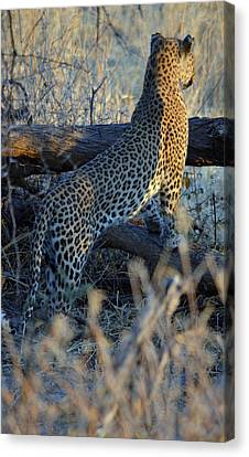 Total Attention Canvas Print by Allan McConnell