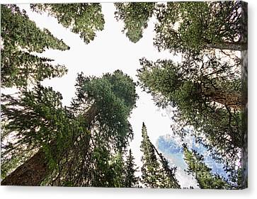 Towering Pine Trees Canvas Print by James BO  Insogna