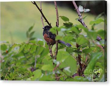 Towhee Keeps Watch On High Canvas Print by Kym Backland
