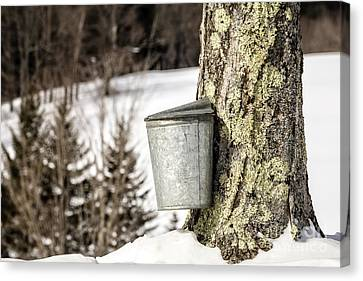 Traditional Sap Bucket On Maple Tree In Vermont Canvas Print by Edward Fielding
