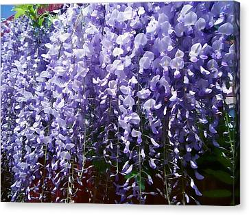 Trailing Wisteria Canvas Print by Susan Knott