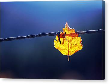 Trapped Leaf On Barbed Wire Canvas Print by Mikel Martinez de Osaba
