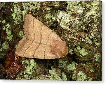 Treble-lines Moth Canvas Print by Nigel Downer