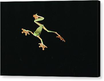 Tree And Leaf Frog Jumping Canvas Print by Michael and Patricia Fogden