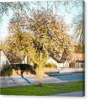 Tree Blossom Canvas Print by Tom Gowanlock