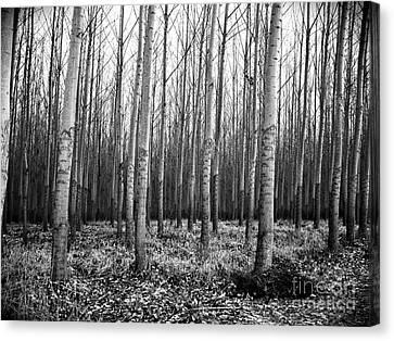 Tree Farm Canvas Print by Chalet Roome-Rigdon