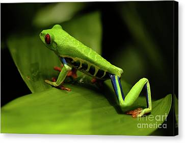 Tree Frog 12 Canvas Print by Bob Christopher