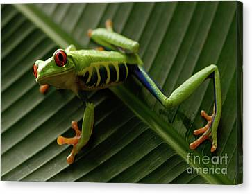 Tree Frog 16 Canvas Print by Bob Christopher