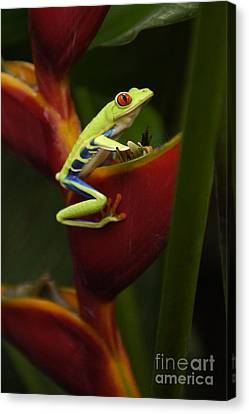 Tree Frog 3 Canvas Print by Bob Christopher