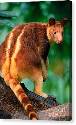 Tree Kangaroo Canvas Print by Art Wolfe