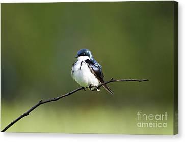 Tree Swallow IIi - D009016 Canvas Print by Daniel Dempster