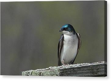 Tree Swallow  Canvas Print by James Hammen